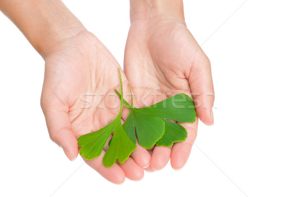 Hands of young woman holding ginkgo leaves Stock photo © brozova
