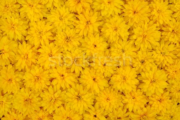 Group of Rudbeckia laciniata flower heads  Stock photo © brozova