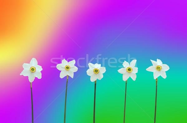 Daffodils over rainbow-coloured background Stock photo © brozova