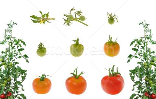 Сток-фото: эволюция · красный · томатный · изолированный · белый · цветы