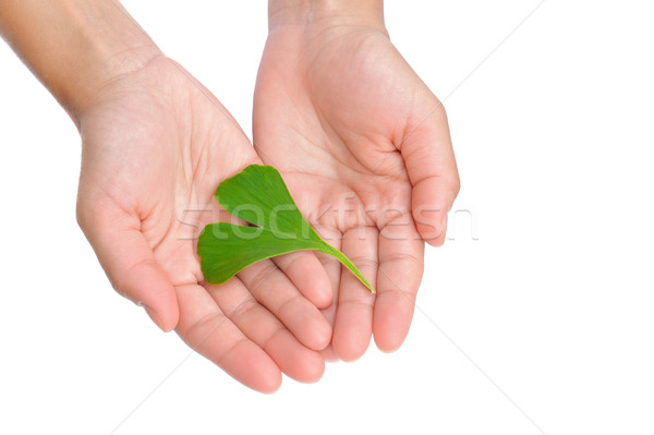 Hands of young woman holding ginkgo leaf Stock photo © brozova