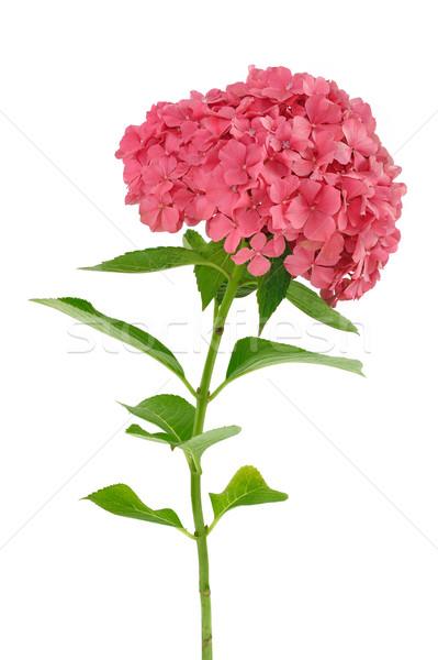 Hydrangea macrophylla  flower  isolated on white background Stock photo © brozova