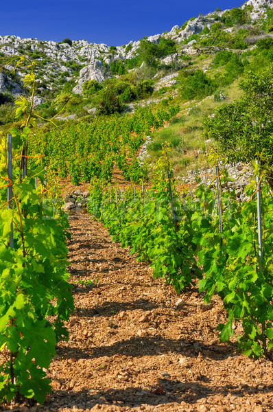 Vineyards, southern coast of Hvar, Croatia Stock photo © brozova
