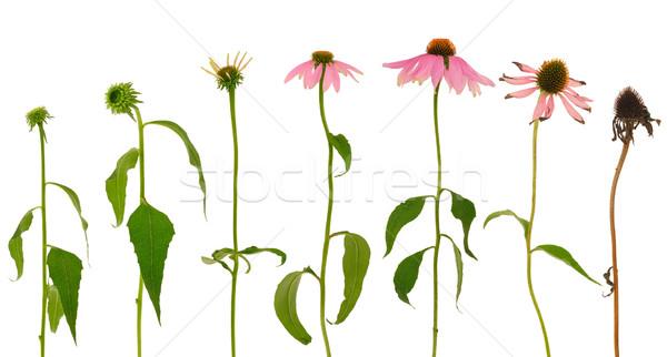 Evolution of Echinacea purpurea  flower  isolated on white background Stock photo © brozova