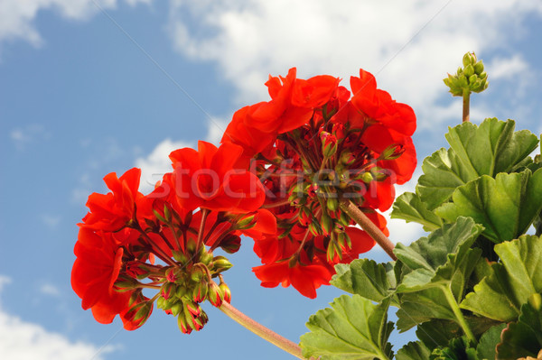 Red garden geranium - Pelargonium over blue sky Stock photo © brozova