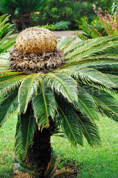 Cycas revoluta (sago cycad)  Stock photo © brozova