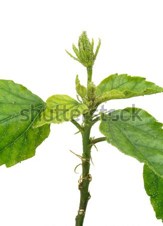 Stock photo: Hibiscus plant attacked by aphids, isolated