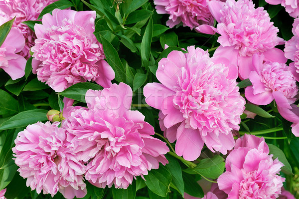Bouquet of fresh pink peonies Stock photo © brozova