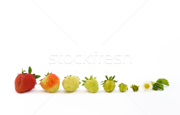 Strawberry growth isolated on white Stock photo © brozova