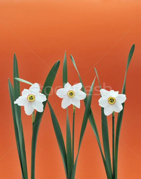 Daffodils over orange background Stock photo © brozova