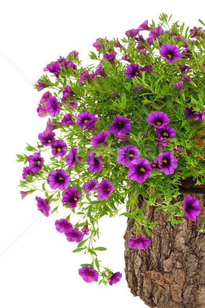 Petunia, Surfinia flowers on tree trunk over white background Stock photo © brozova