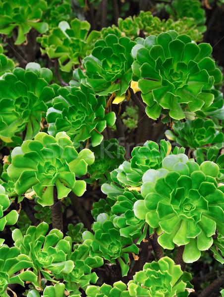 Etli çiçekler doğa yaprak Stok fotoğraf © brozova