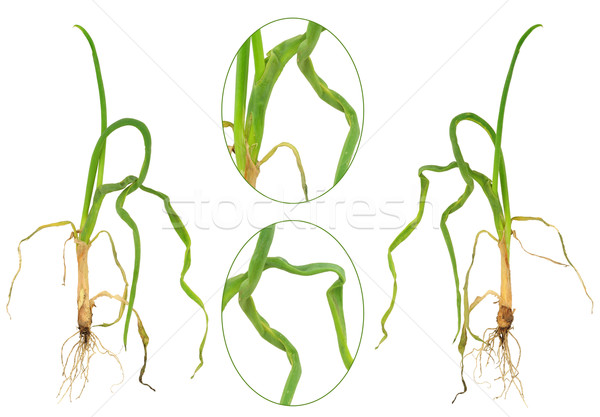 Foto d'archivio: Cipolla · natura · sfondo · verde · foglie · impianti