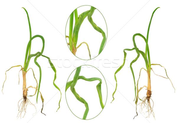 Cebolla naturaleza fondo verde hojas plantas Foto stock © brozova