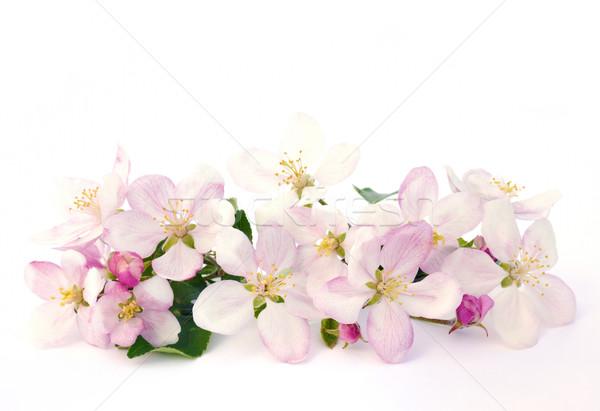 Pomme fleurs isolé fleur fruits arbres Photo stock © brozova
