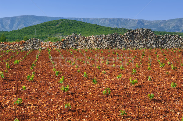 New vineyards, north of Hvar island, Croatia Stock photo © brozova