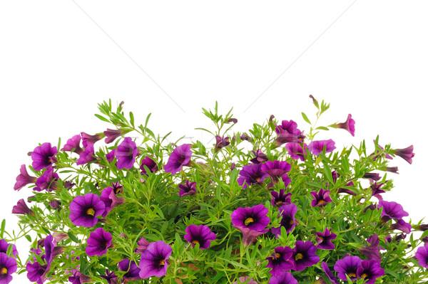 Petunia, Surfinia flowers over white background Stock photo © brozova