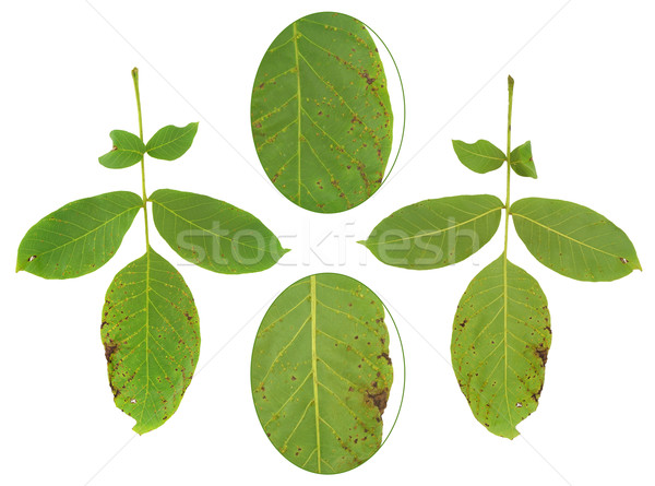 Leaf of walnut tree attacked by mite, Aceria erineus Stock photo © brozova
