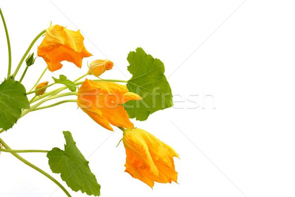 Squash flower and leaves isolated on white Stock photo © brozova