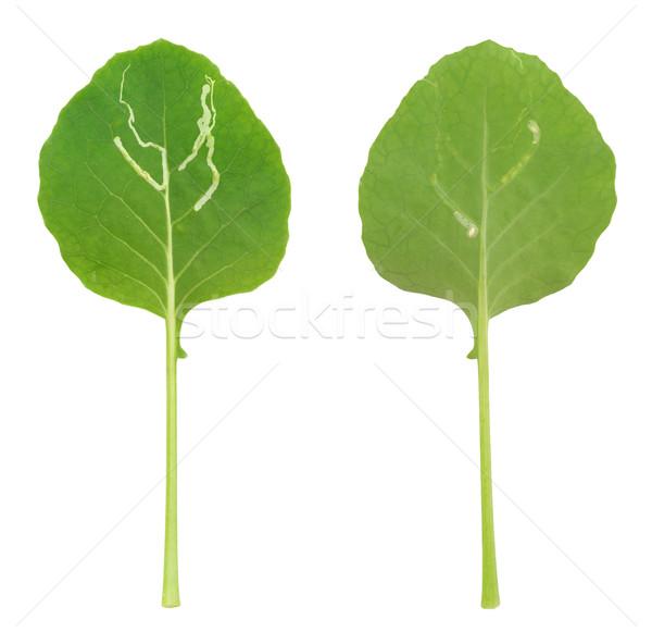 Kohlrabi leaf attacked by leaf miner, isolated Stock photo © brozova