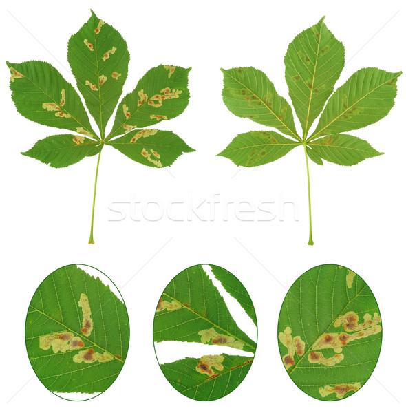 Leaf Leaves Commercial Use Clip Art Horse Chestnut Leaves | Etsy in 2020 | Horse  chestnut leaves, Printable vintage art, Leaves illustration
