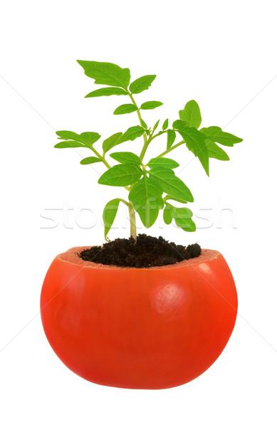 молодые томатный завода растущий эволюция изолированный Сток-фото © brozova