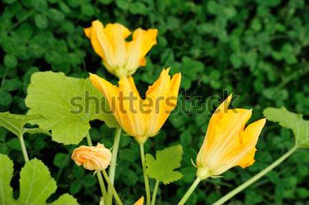 Squash flower and leaves Stock photo © brozova