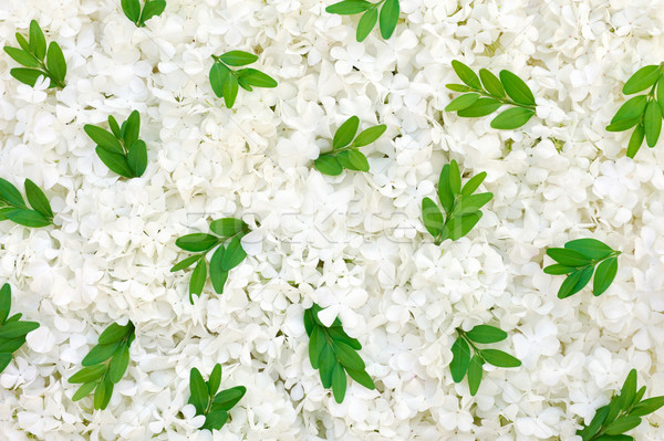 Guelder rose blossoms and myrtle leaves - background Stock photo © brozova