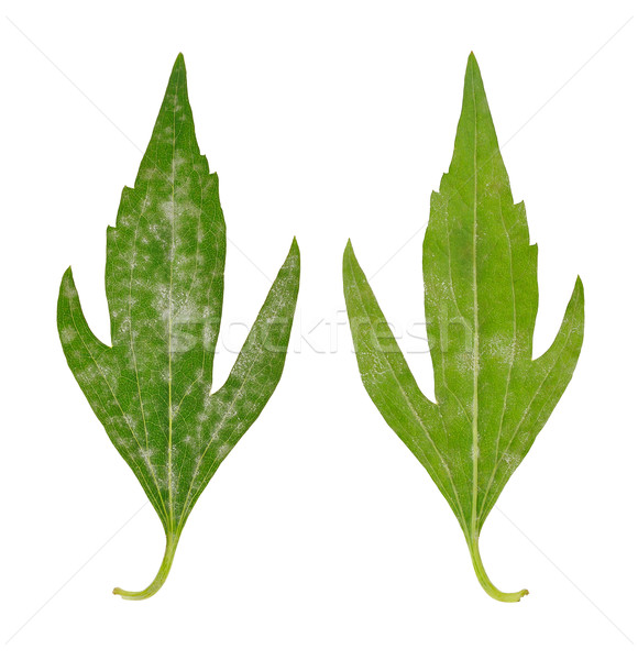 Diseased leaf of  Rudbeckia laciniata flore pleno – fungal attacked Stock photo © brozova