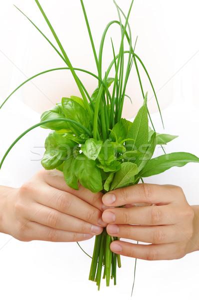 Zdjęcia stock: Ręce · młoda · kobieta · świeże · zioła · bazylia