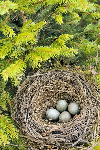 Stock foto: Detail · Amsel · Eier · Nest · Baum · Gras