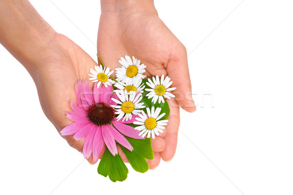 Hands of young woman holding herbs  Stock photo © brozova