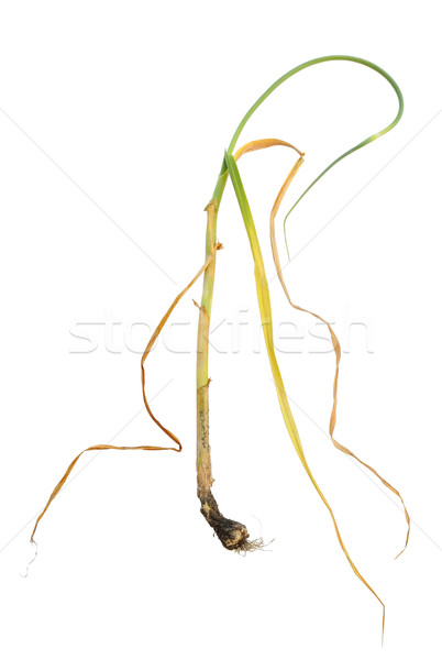 Infection of garlic by white rot, Sclerotium cepivorum Stock photo © brozova