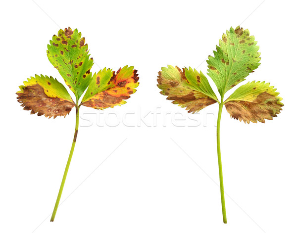 Strawberry leaf with the fungal disease, leaf scorch caused by Diplocarpon earlianum Stock photo © brozova