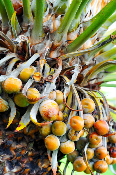 Close up of palm tree fruit - Cycas circinalis Stock photo © brozova