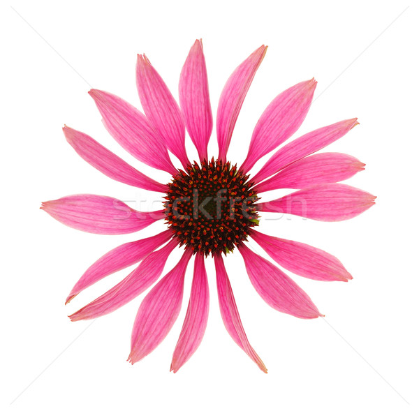 Echinacea purpurea flower head isolated on white background Stock photo © brozova