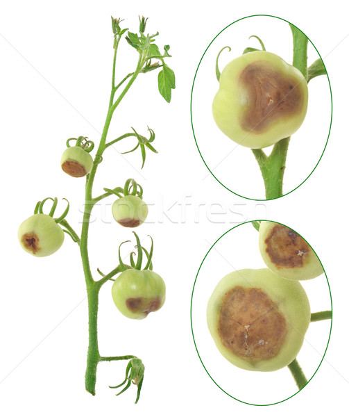 Blossom end rot of tomato - Calcium deficiency - plant disorder Stock photo © brozova