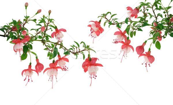 Fuchsia flowers over white background Stock photo © brozova