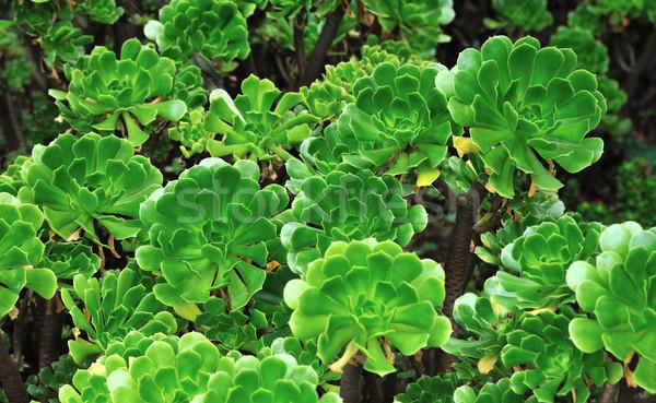 Close up of an ornamental Aeonium - succulent (Pinwheel) Stock photo © brozova