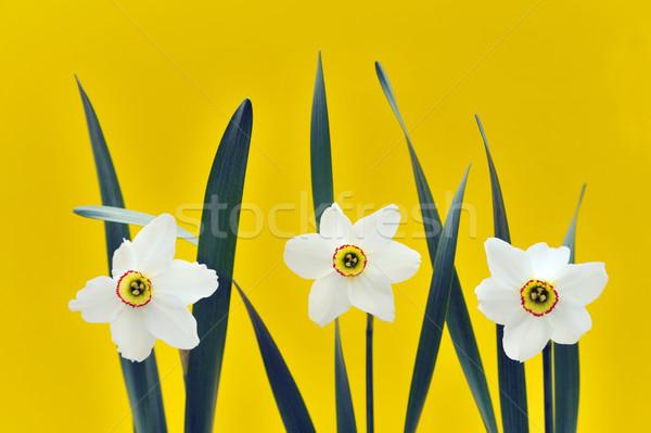 Nárciszok citromsárga virág háttér levelek szín Stock fotó © brozova