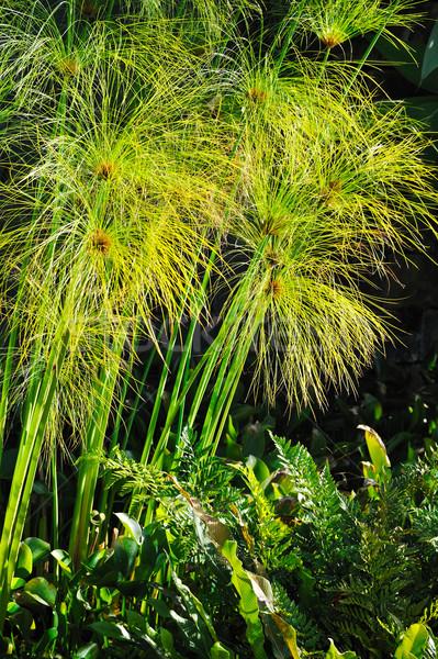 Papyrus detail bloemen blad zomer groep Stockfoto © brozova