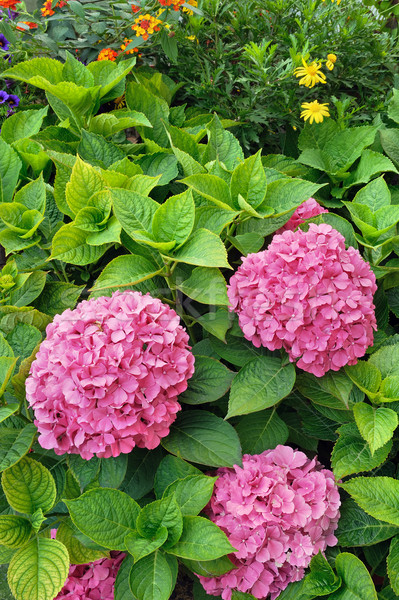 Flowering  Hydrangea macrophylla shrubs in garden Stock photo © brozova
