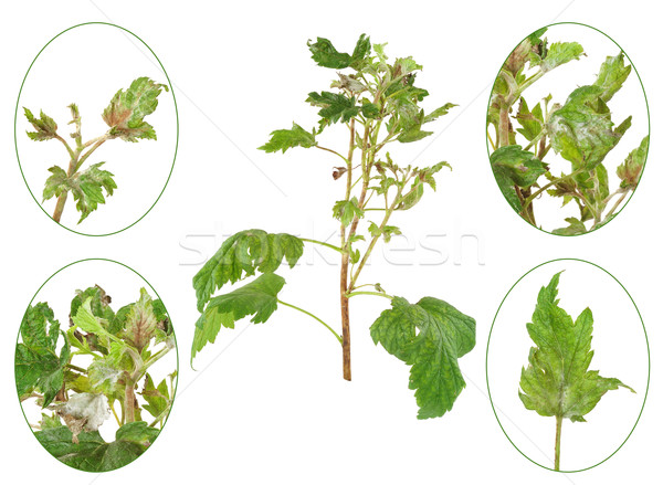 Infection of black currant by grey mould, Botrytis cinerea, Botryotinia fuckeliana Stock photo © brozova