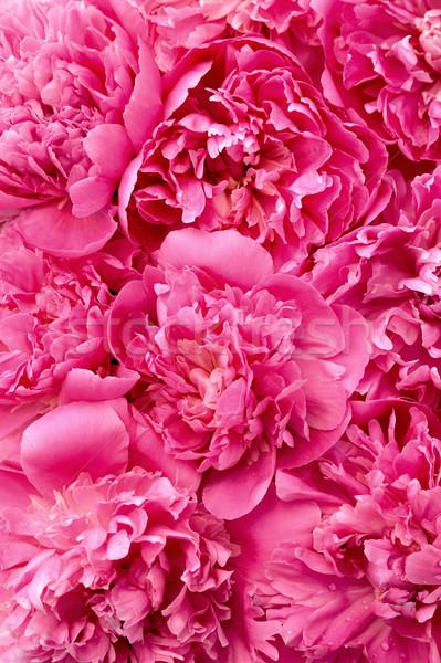 Peony flower heads - background Stock photo © brozova