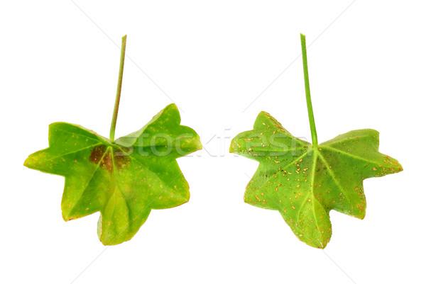 Diseased leaf of  Pelargonium peltatum  – water-soaked lesions  - cork cells  Stock photo © brozova