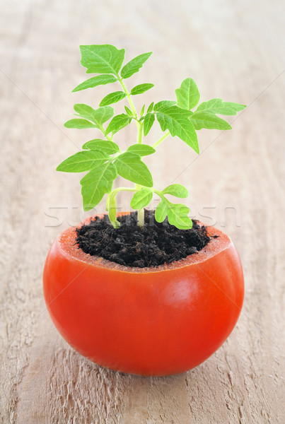 Young tomato plant growing, evolution concept Stock photo © brozova