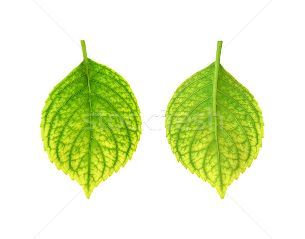 Iron deficiency of Hydrangea macrophylla leaf - chlorosis Stock photo © brozova