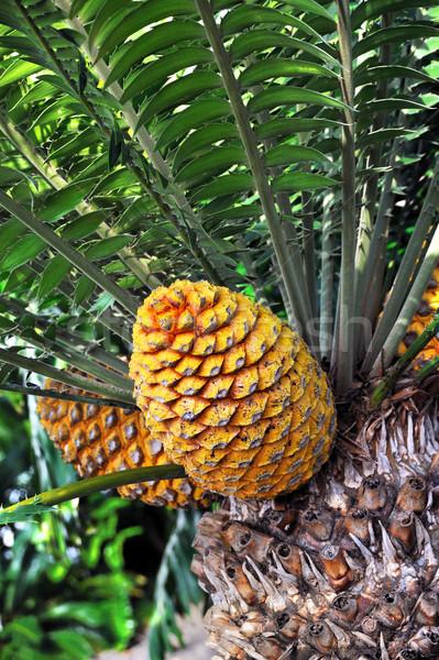 Cycad cone, Encephalartos Transvenosus Stock photo © brozova
