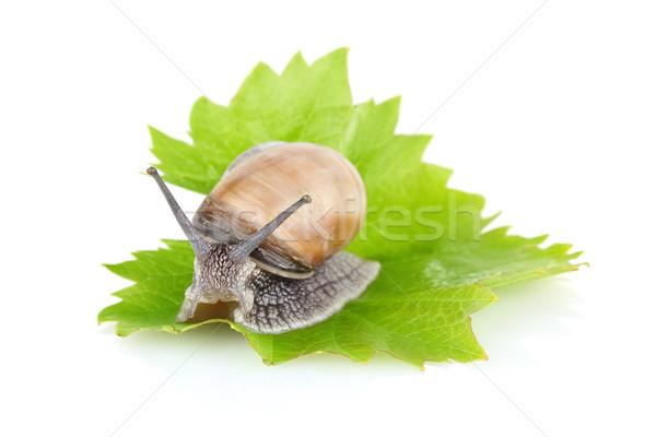 garden snail (Helix aspersa) on green leaf Stock photo © brulove
