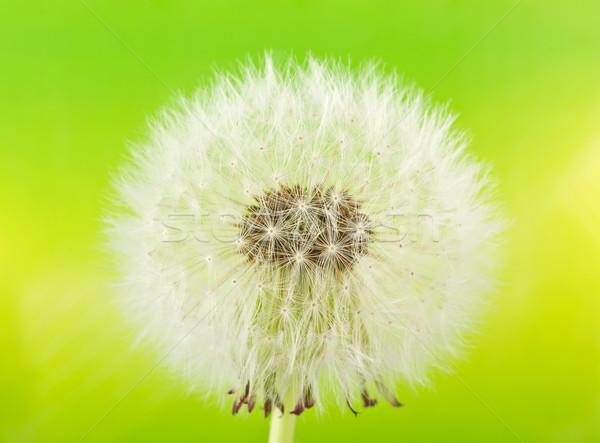 Pissenlit macro vert fleur nature couleur Photo stock © brulove